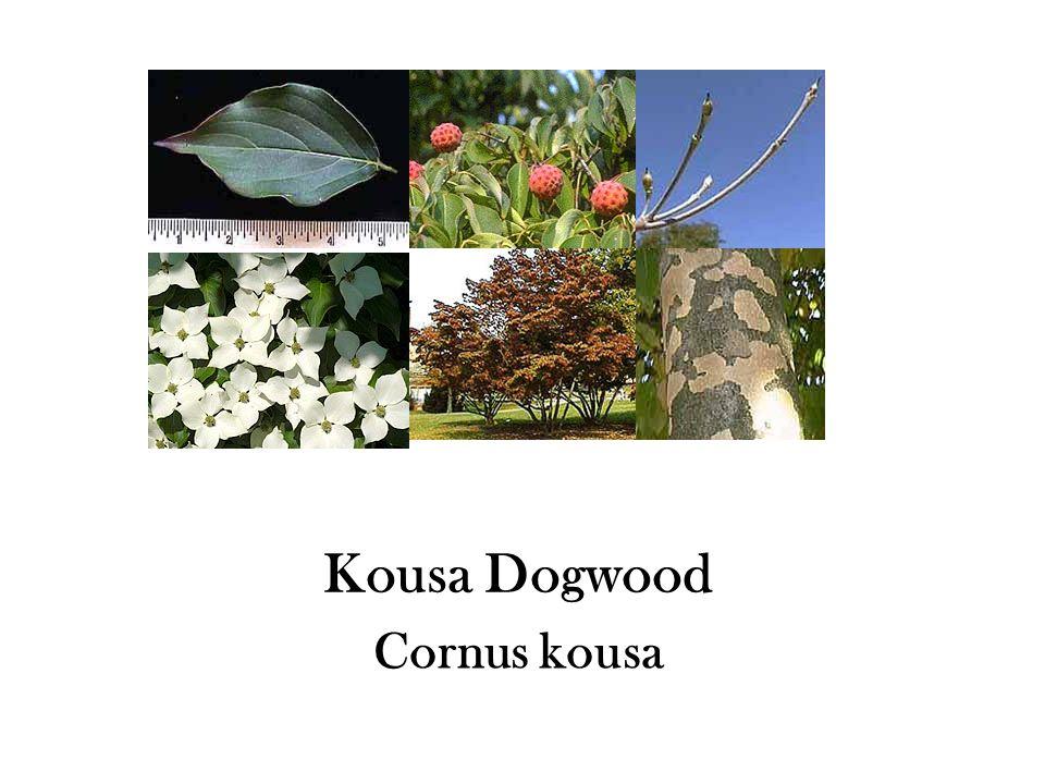 Kousa Dogwood Cornus kousa