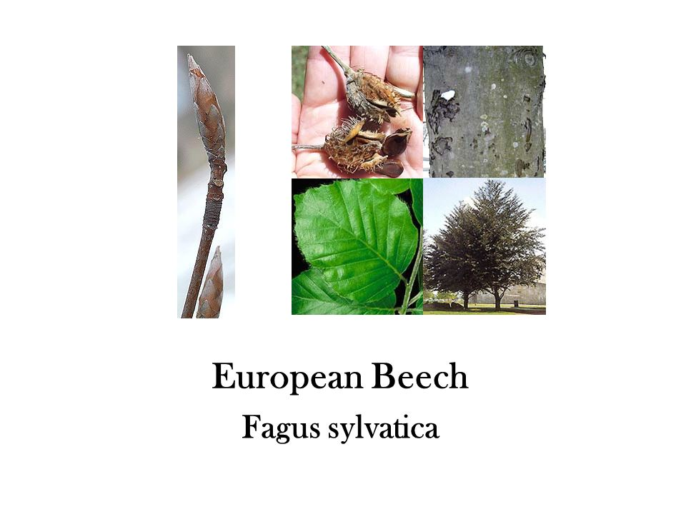European Beech Fagus sylvatica