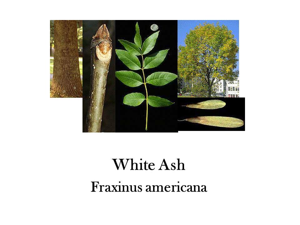 White Ash Fraxinus americana