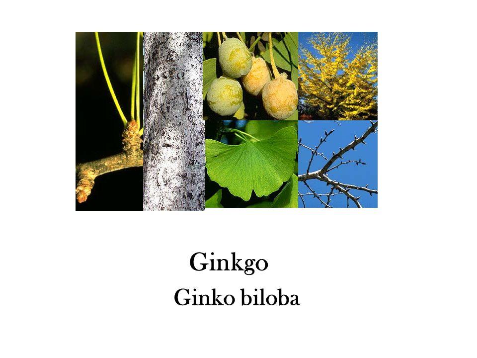 Ginkgo Ginko biloba