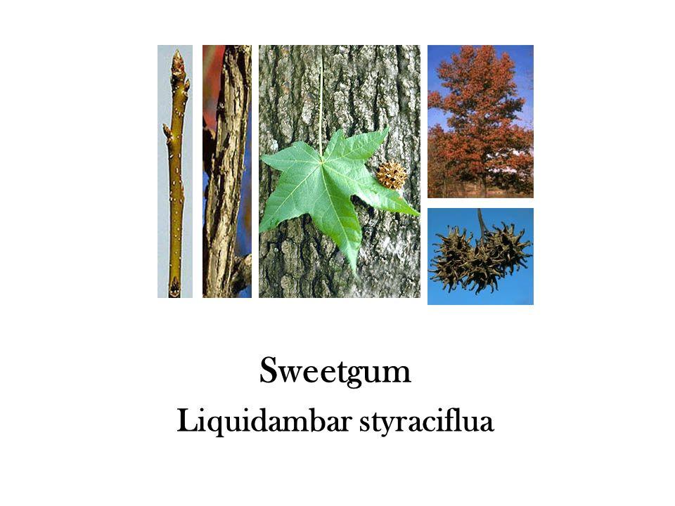 Sweetgum Liquidambar styraciflua