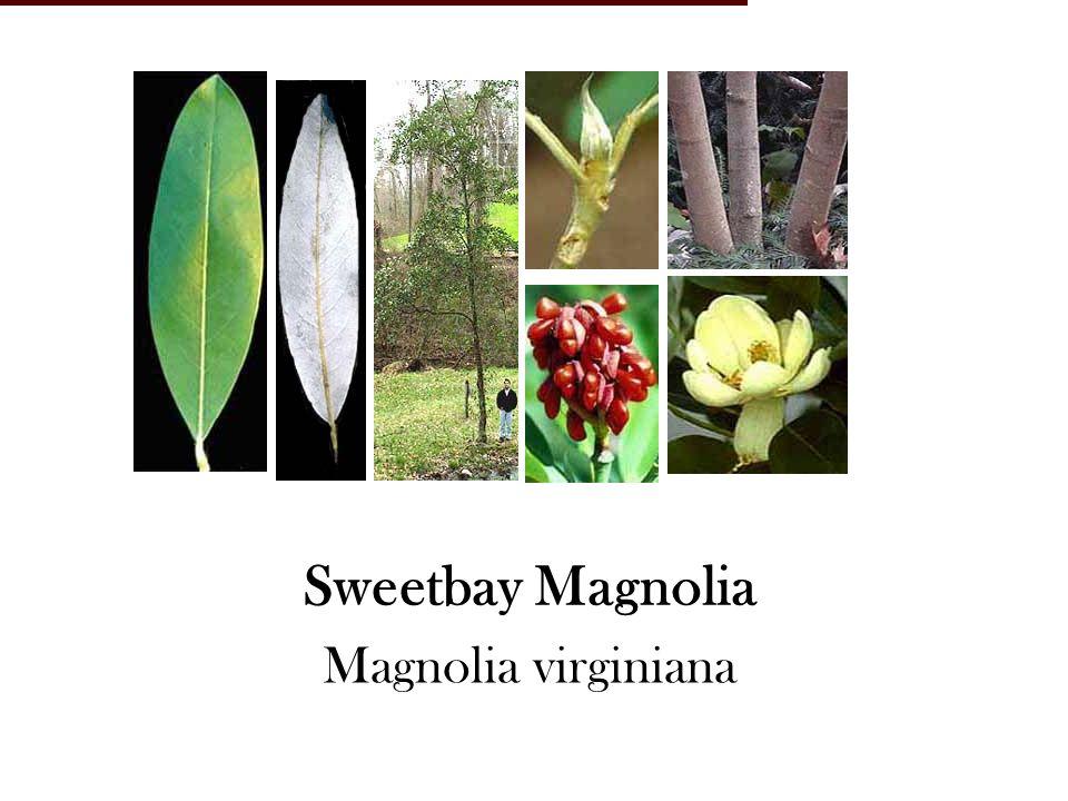 Sweetbay Magnolia Magnolia virginiana