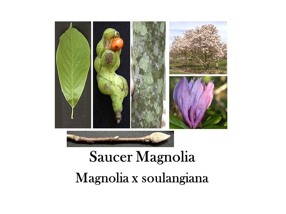 Saucer Magnolia Magnolia x soulangiana