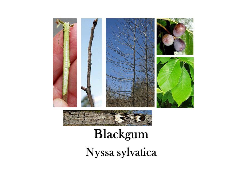 Blackgum Nyssa sylvatica