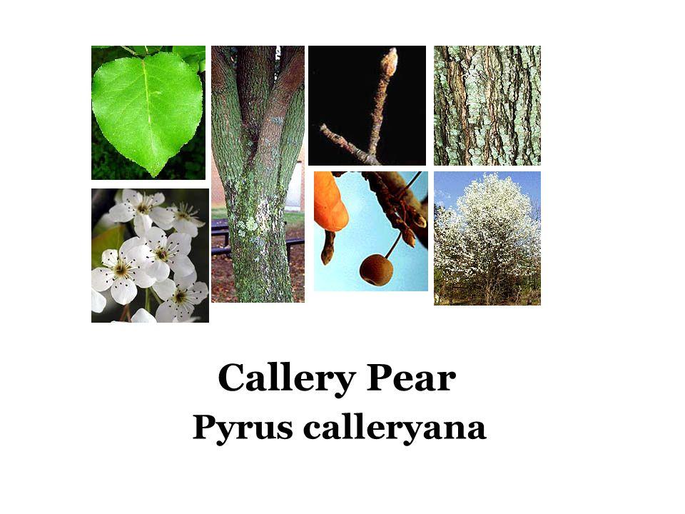 Callery Pear Pyrus calleryana