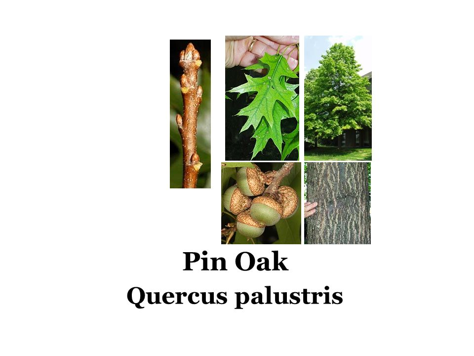Pin Oak Quercus palustris