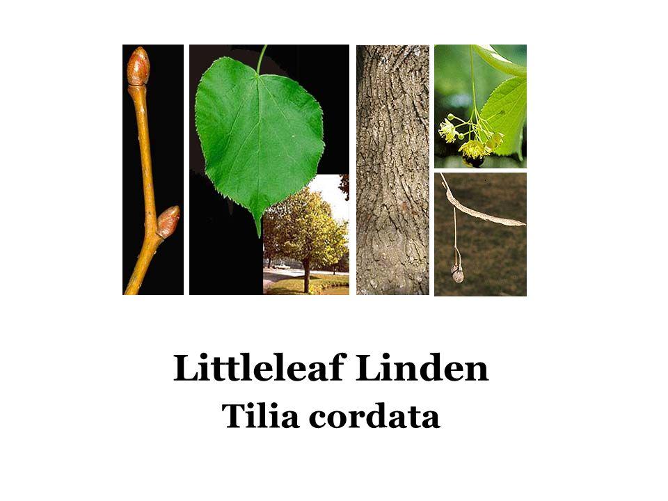 Littleleaf Linden Tilia cordata
