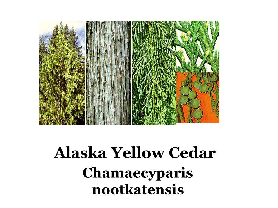 Alaska Yellow Cedar Chamaecyparis nootkatensis