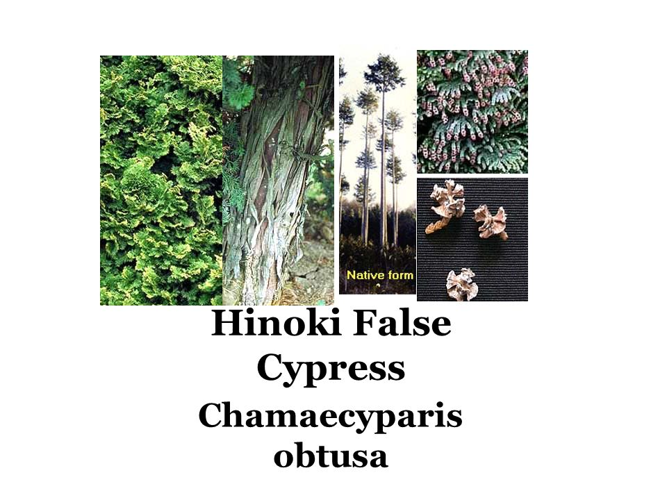 Hinoki False Cypress Chamaecyparis obtusa