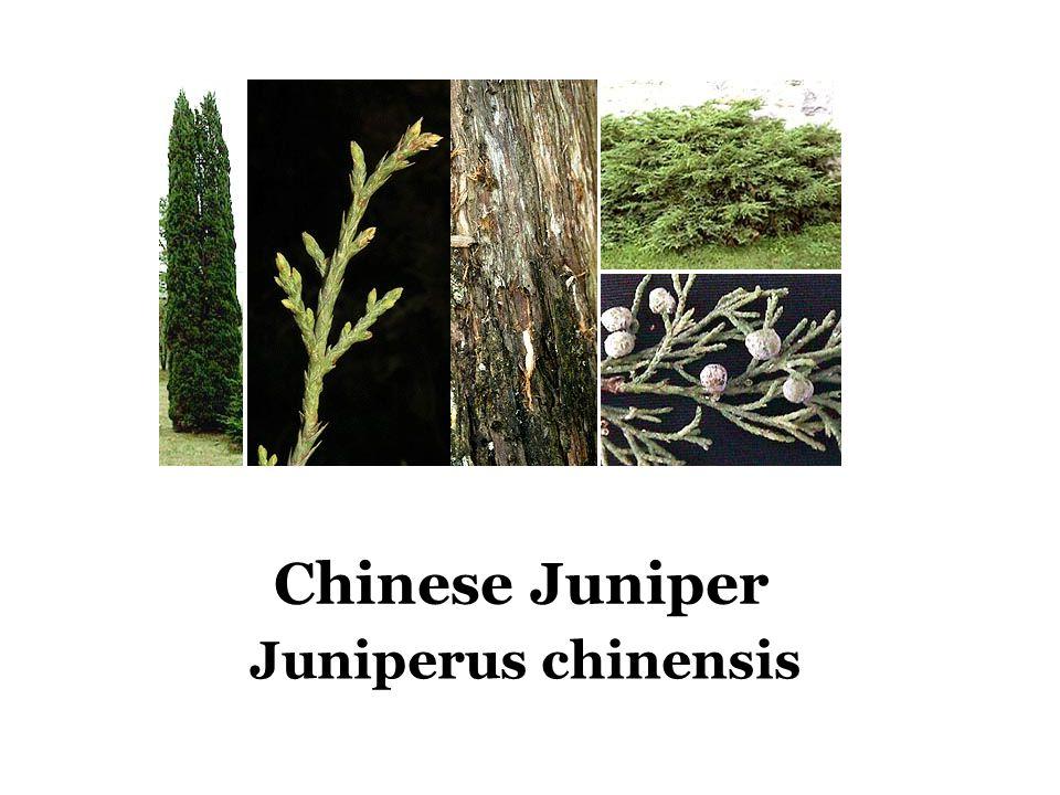 Chinese Juniper Juniperus chinensis