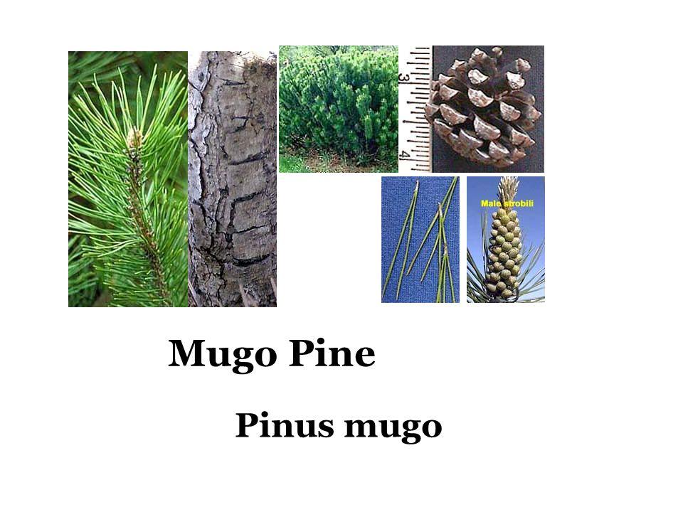 Mugo Pine Pinus mugo