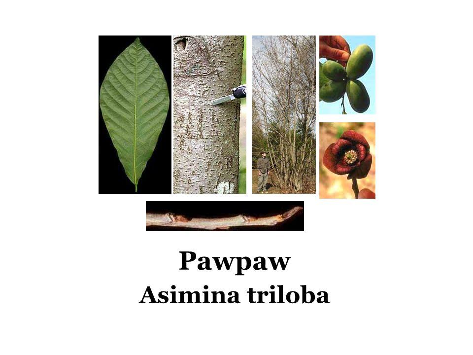 Pawpaw Asimina triloba