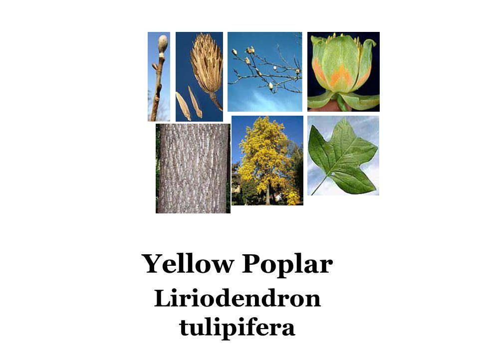 Yellow Poplar Liriodendron tulipifera