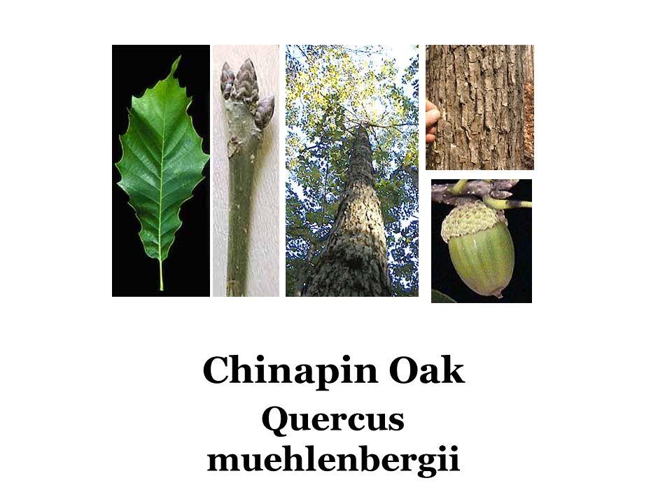 Chinapin Oak Quercus muehlenbergii
