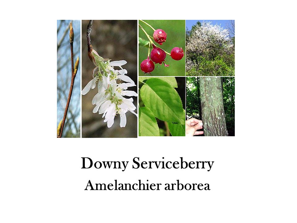 Downy Serviceberry Amelanchier arborea