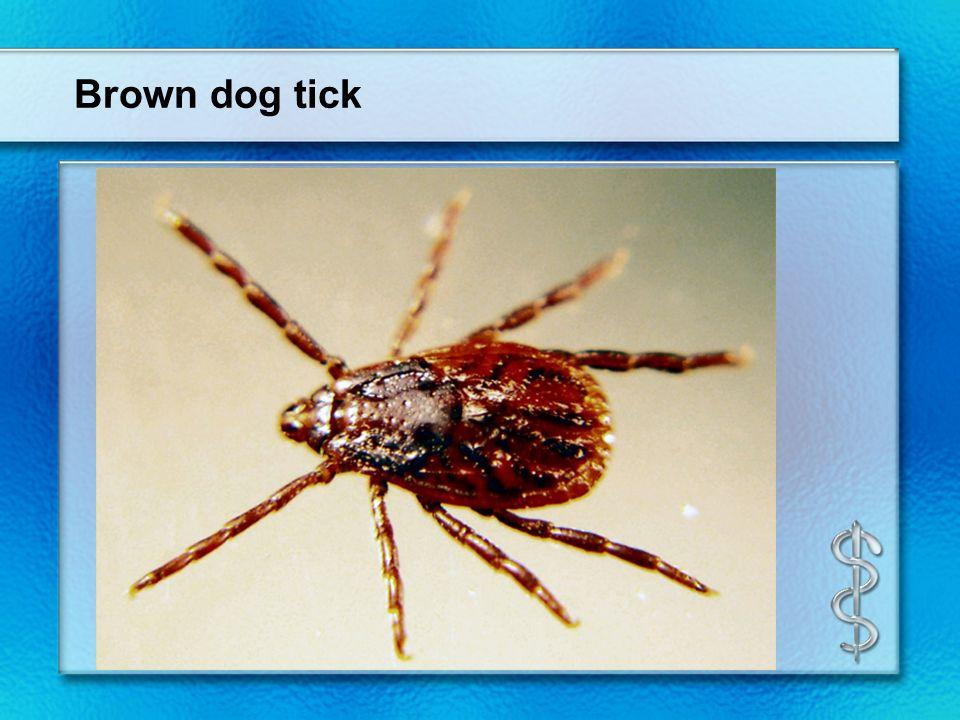 Brown dog tick