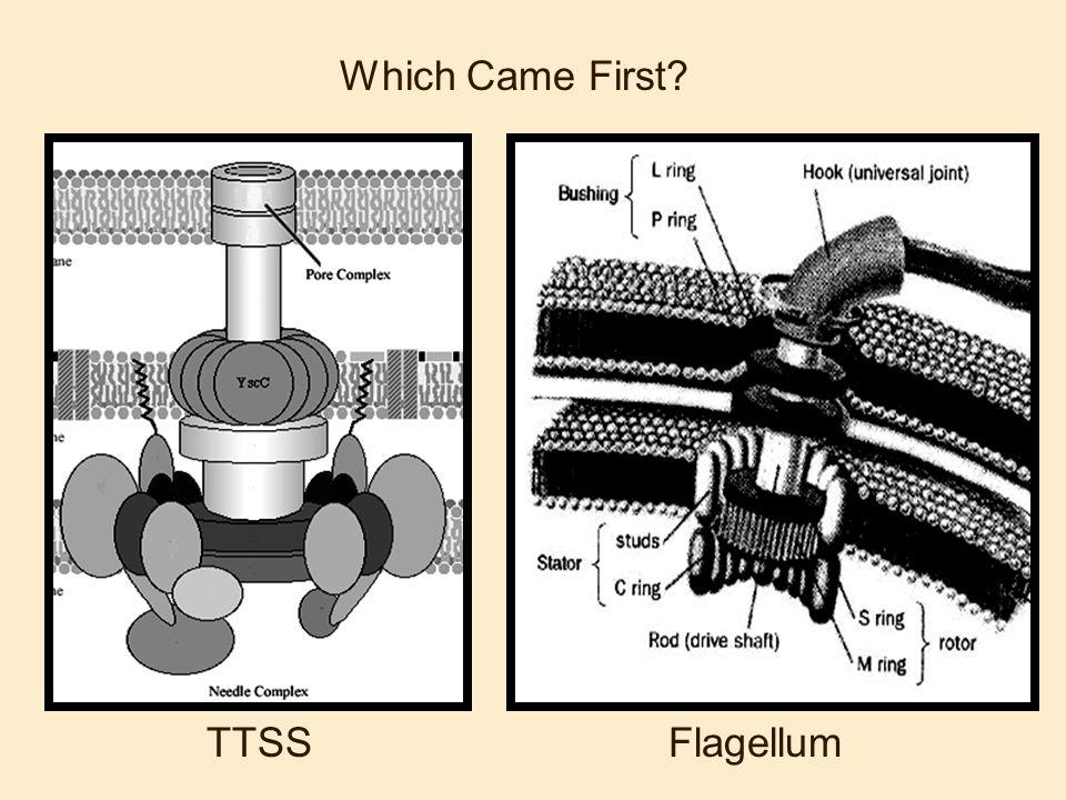Which Came First? TTSSFlagellum