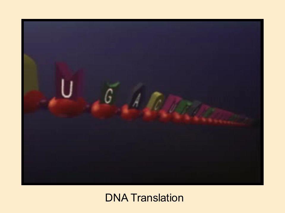 DNA Translation