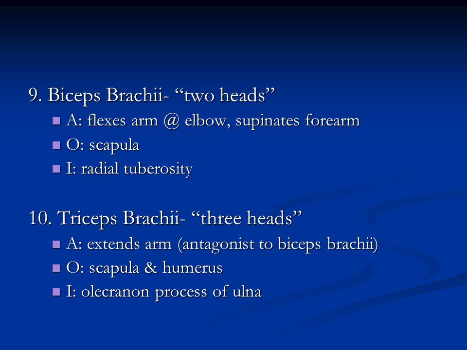 9. Biceps Brachii- two heads A: flexes arm @ elbow, supinates forearm A: flexes arm @ elbow, supinates forearm O: scapula O: scapula I: radial tuberos
