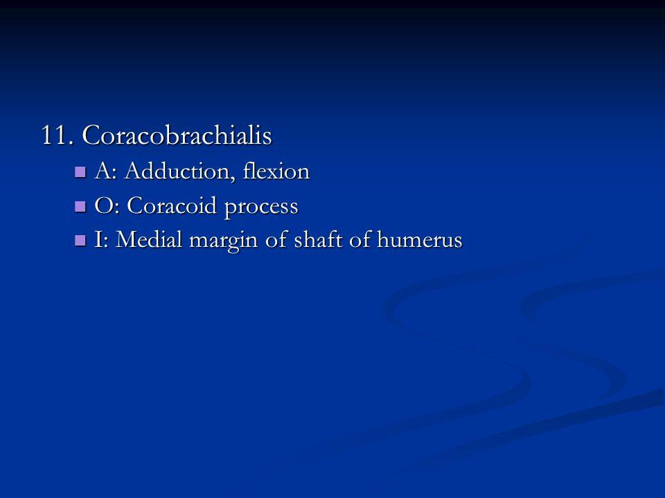 11. Coracobrachialis A: Adduction, flexion A: Adduction, flexion O: Coracoid process O: Coracoid process I: Medial margin of shaft of humerus I: Media