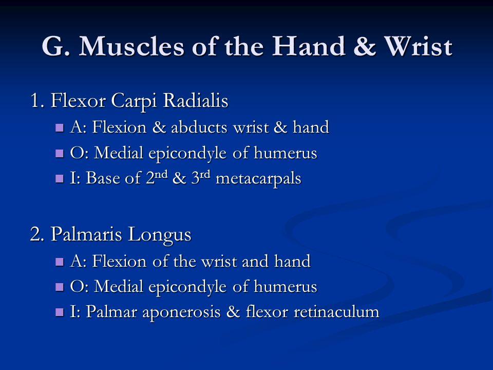 G. Muscles of the Hand & Wrist 1. Flexor Carpi Radialis A: Flexion & abducts wrist & hand A: Flexion & abducts wrist & hand O: Medial epicondyle of hu