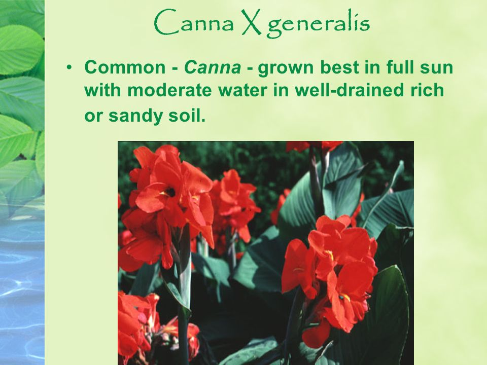 Canna X generalis Common - Canna - grown best in full sun with moderate water in well-drained rich or sandy soil.