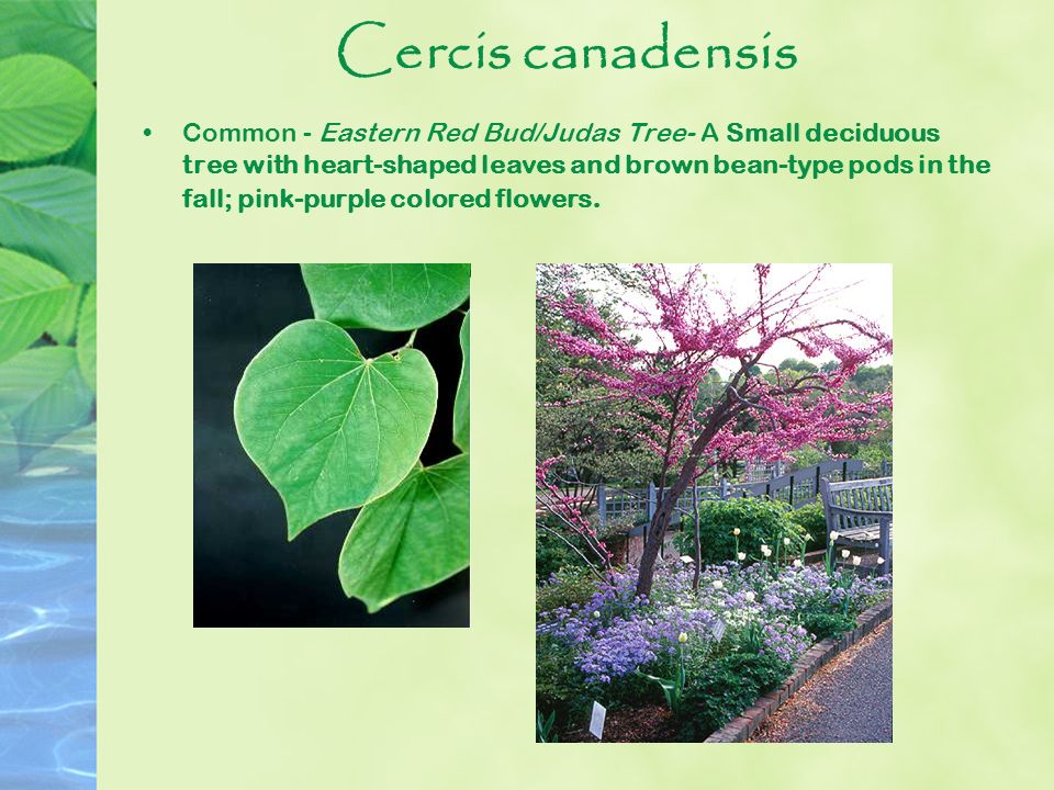 Cercis canadensis Common - Eastern Red Bud/Judas Tree- A Small deciduous tree with heart-shaped leaves and brown bean-type pods in the fall; pink-purp