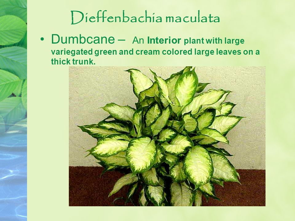 Dieffenbachia maculata Dumbcane – An Interior plant with large variegated green and cream colored large leaves on a thick trunk.