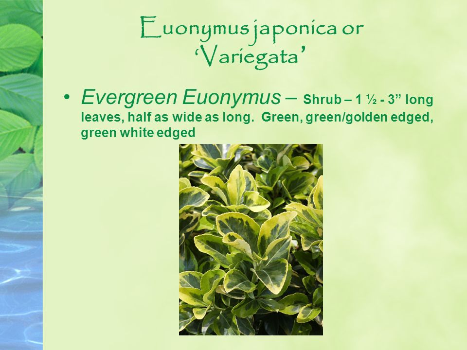 Euonymus japonica or Variegata Evergreen Euonymus – Shrub – 1 ½ - 3 long leaves, half as wide as long. Green, green/golden edged, green white edged