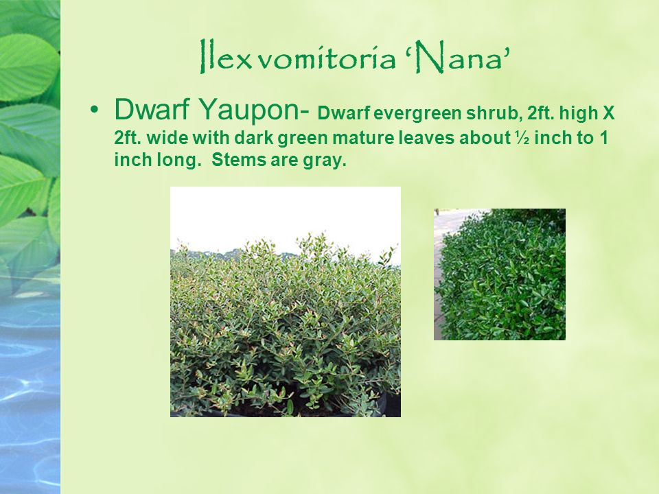 Ilex vomitoria Nana Dwarf Yaupon- Dwarf evergreen shrub, 2ft. high X 2ft. wide with dark green mature leaves about ½ inch to 1 inch long. Stems are gr