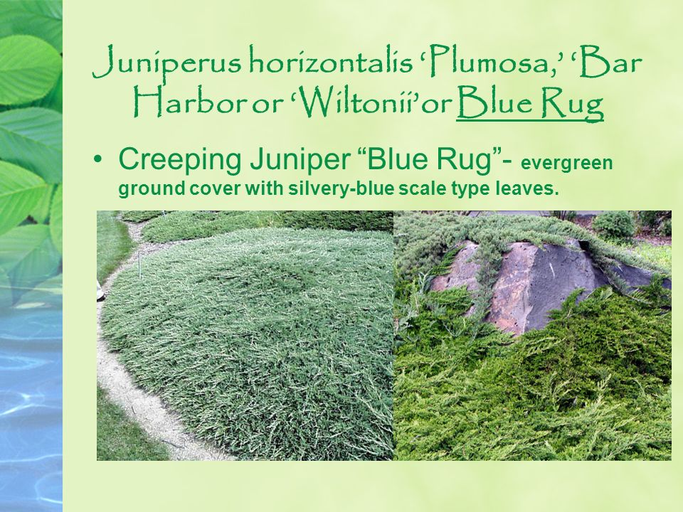 Juniperus horizontalis Plumosa, Bar Harbor or Wiltoniior Blue Rug Creeping Juniper Blue Rug- evergreen ground cover with silvery-blue scale type leave