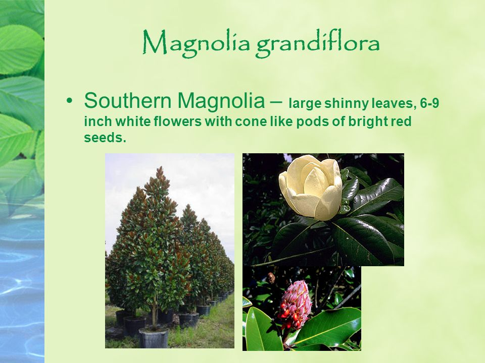 Magnolia grandiflora Southern Magnolia – large shinny leaves, 6-9 inch white flowers with cone like pods of bright red seeds.