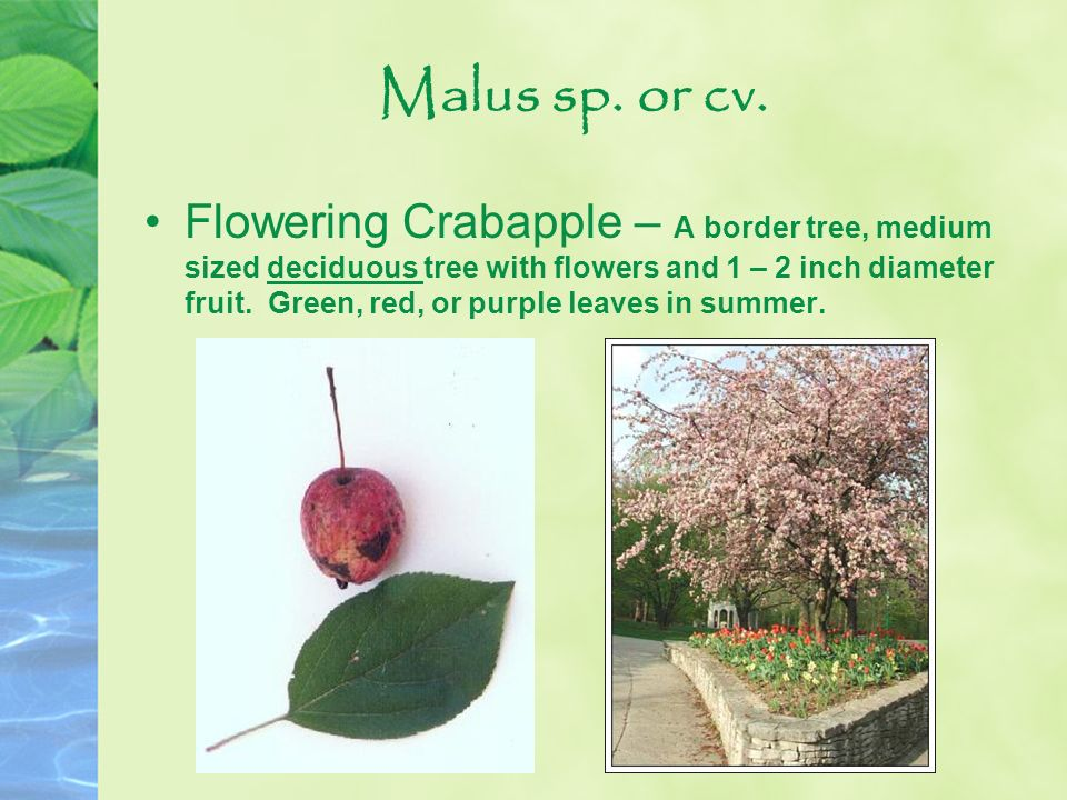 Malus sp. or cv. Flowering Crabapple – A border tree, medium sized deciduous tree with flowers and 1 – 2 inch diameter fruit. Green, red, or purple le