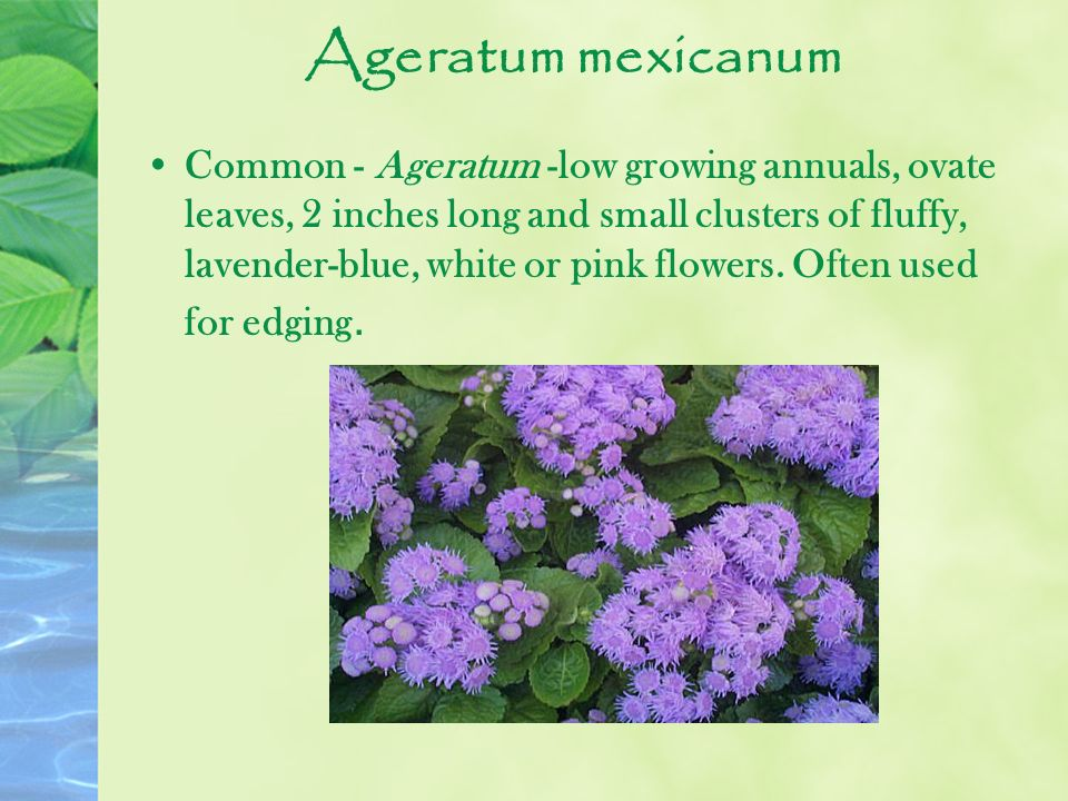 Ageratum mexicanum Common - Ageratum -low growing annuals, ovate leaves, 2 inches long and small clusters of fluffy, lavender-blue, white or pink flow