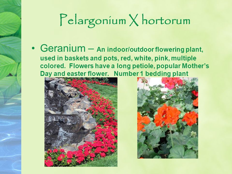 Pelargonium X hortorum Geranium – An indoor/outdoor flowering plant, used in baskets and pots, red, white, pink, multiple colored. Flowers have a long