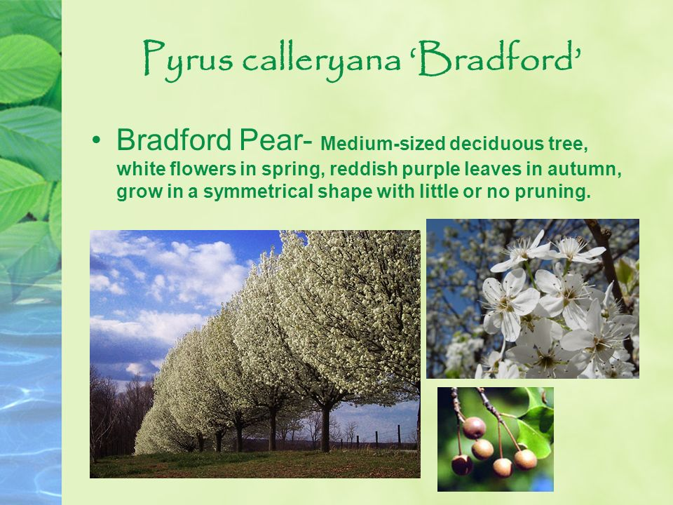 Pyrus calleryana Bradford Bradford Pear- Medium-sized deciduous tree, white flowers in spring, reddish purple leaves in autumn, grow in a symmetrical