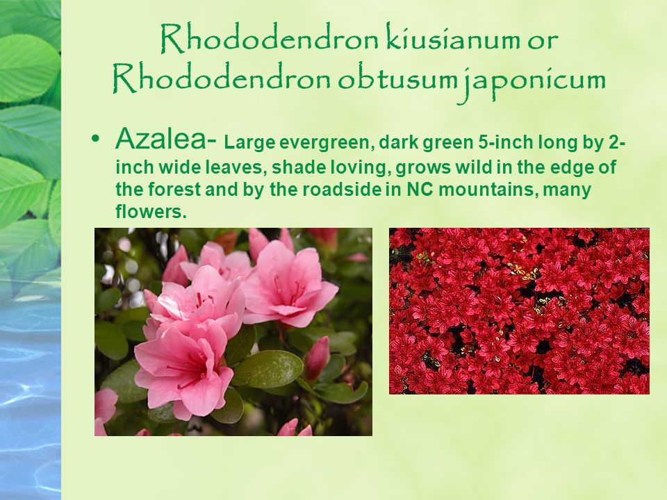 Rhododendron kiusianum or Rhododendron obtusum japonicum Azalea- Large evergreen, dark green 5-inch long by 2- inch wide leaves, shade loving, grows w
