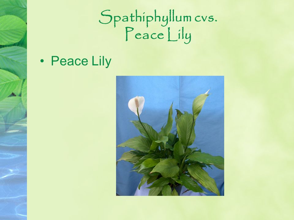 Spathiphyllum cvs. Peace Lily Peace Lily