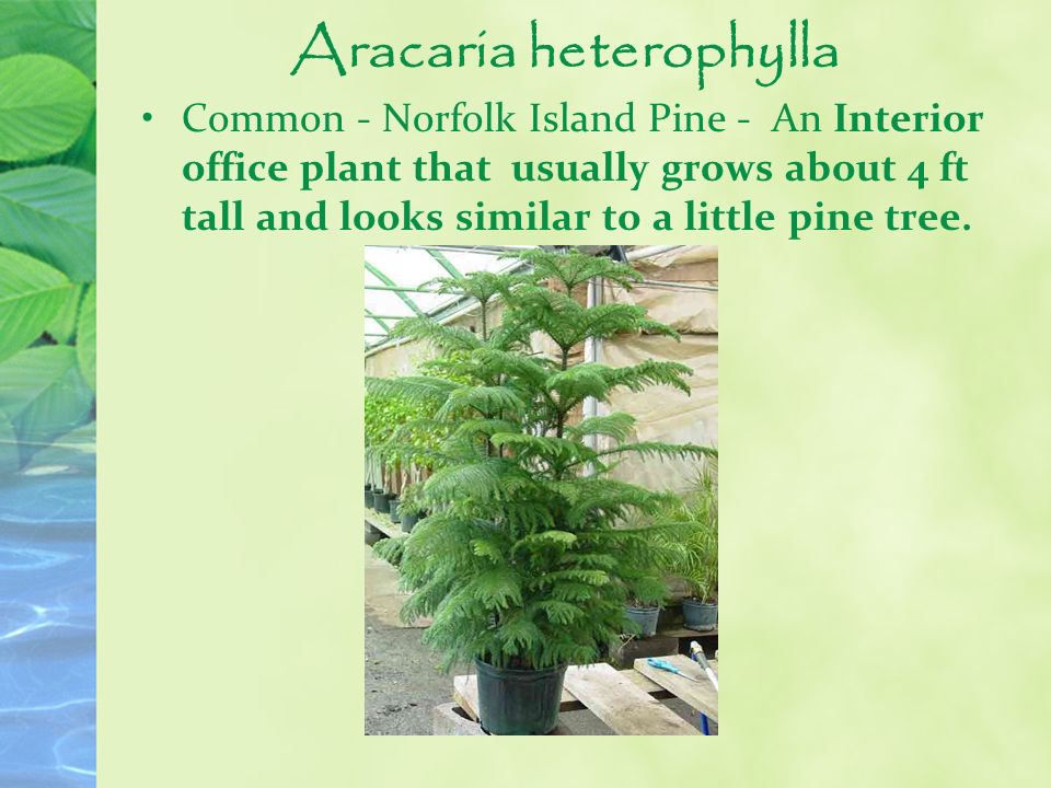 Aracaria heterophylla Common - Norfolk Island Pine - An Interior office plant that usually grows about 4 ft tall and looks similar to a little pine tr