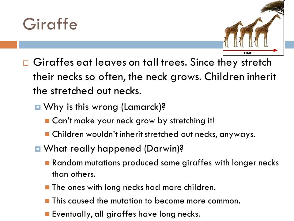Giraffe Giraffes eat leaves on tall trees. Since they stretch their necks so often, the neck grows. Children inherit the stretched out necks. Why is t