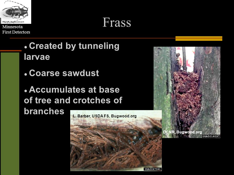 Minnesota First Detectors Frass PN DCNR, Bugwood.org L. Barber, USDA FS, Bugwood.org Created by tunneling larvae Coarse sawdust Accumulates at base of