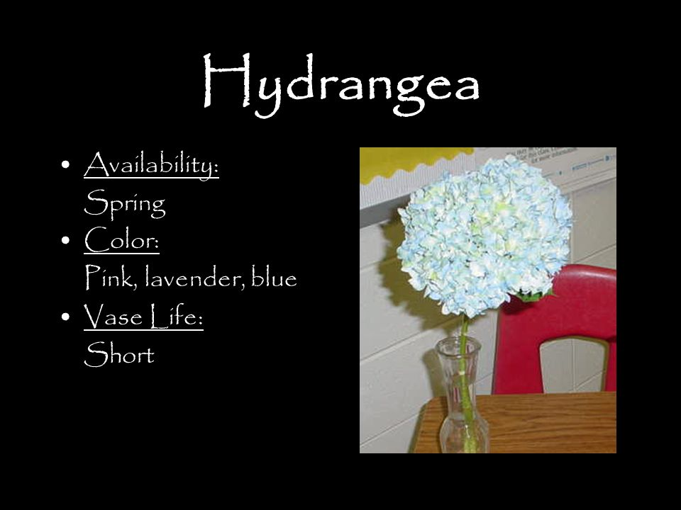 Hydrangea Availability: Spring Color: Pink, lavender, blue Vase Life: Short