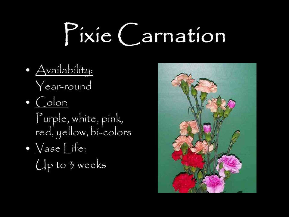Pixie Carnation Availability: Year-round Color: Purple, white, pink, red, yellow, bi-colors Vase Life: Up to 3 weeks