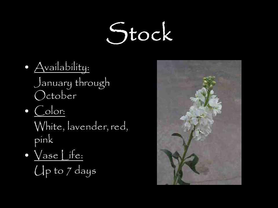 Stock Availability: January through October Color: White, lavender, red, pink Vase Life: Up to 7 days