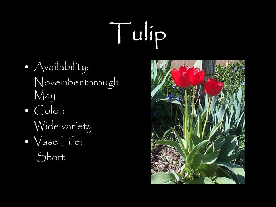 Tulip Availability: November through May Color: Wide variety Vase Life: Short