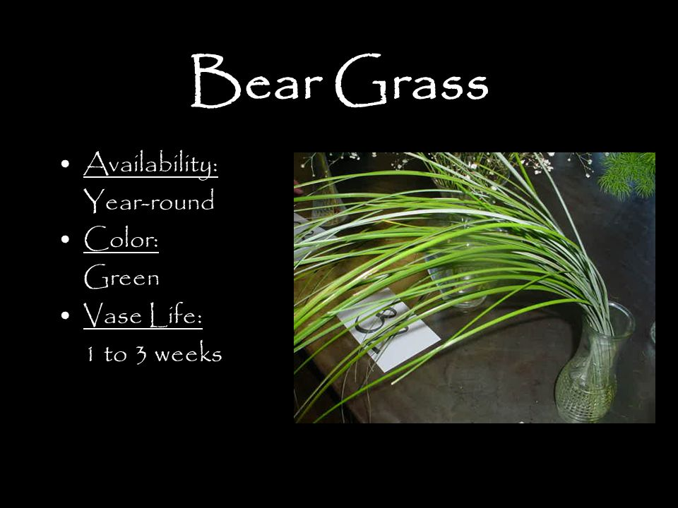 Bear Grass Availability: Year-round Color: Green Vase Life: 1 to 3 weeks