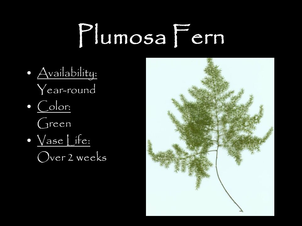 Plumosa Fern Availability: Year-round Color: Green Vase Life: Over 2 weeks