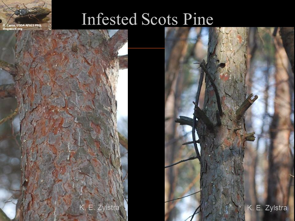 Minnesota First Detectors Infested Scots Pine K. E. Zylstra D. Lance, USDA APHIS PPQ, Bugwood.org