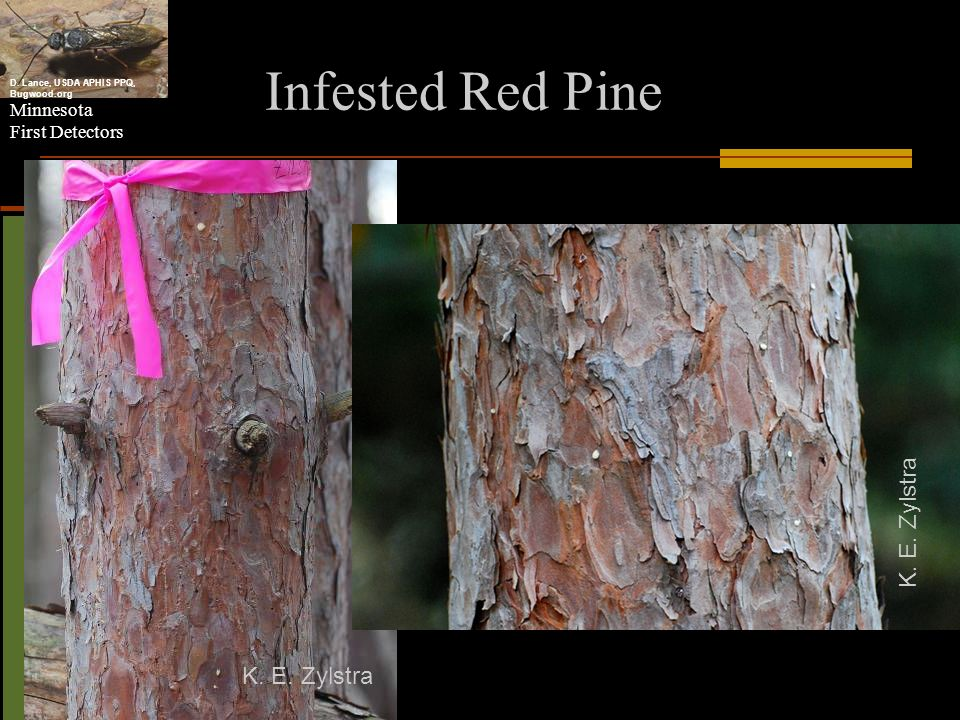Minnesota First Detectors Infested Red Pine K. E. Zylstra D. Lance, USDA APHIS PPQ, Bugwood.org