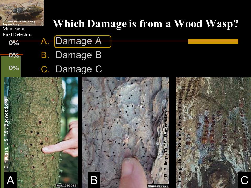 Minnesota First Detectors Which Damage is from a Wood Wasp? A. Damage A B. Damage B C. Damage C BA D. Lance, USDA APHIS PPQ, Bugwood.org C D. Haugen,